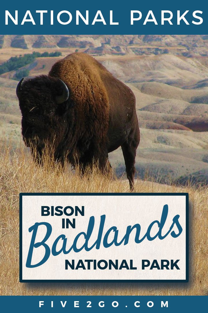 Bison Encounter in Badlands National Park